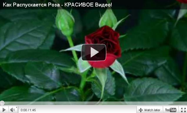 Как распускается роза?