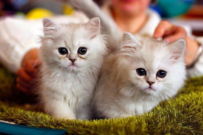 19-20 июля. Международная выставка кошек. Челябинск!